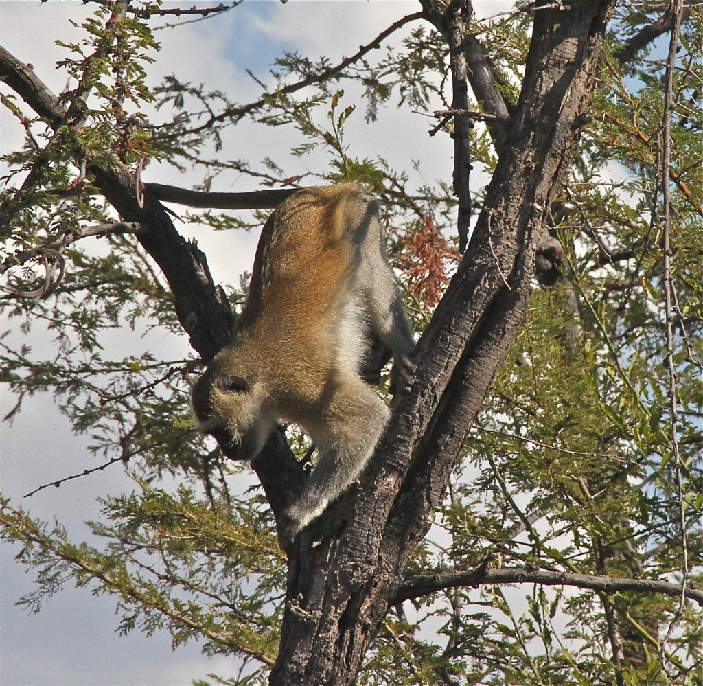 A Zambian monkey