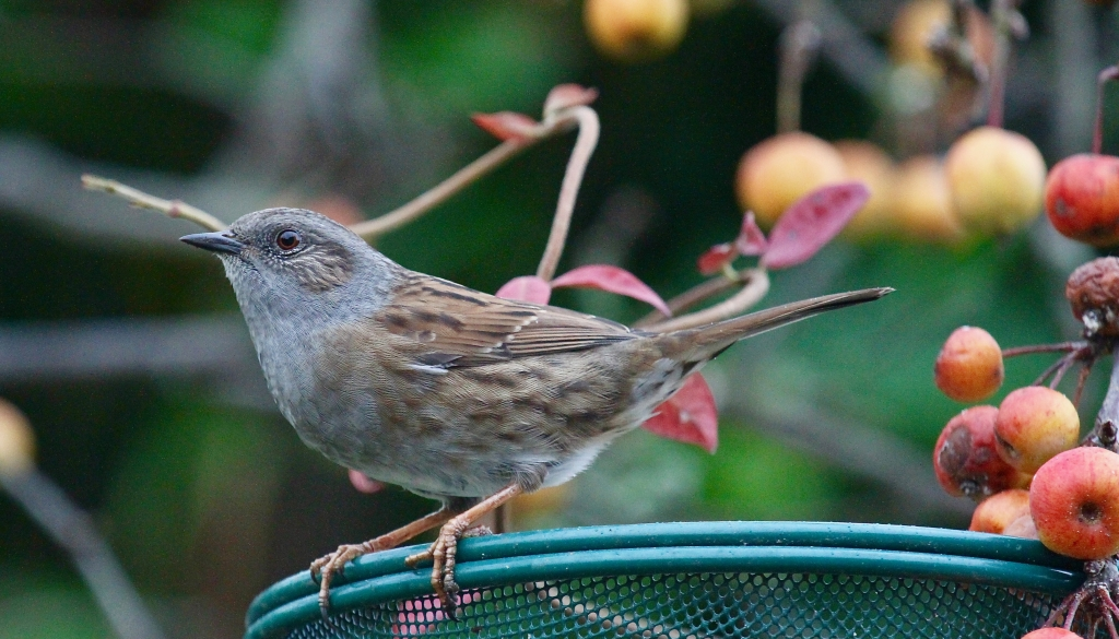 Dunnock at Crown Cottage