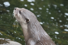 Another Otter London Wetlands July 2915