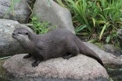 Otter on a rock London Wetlands July 2915
