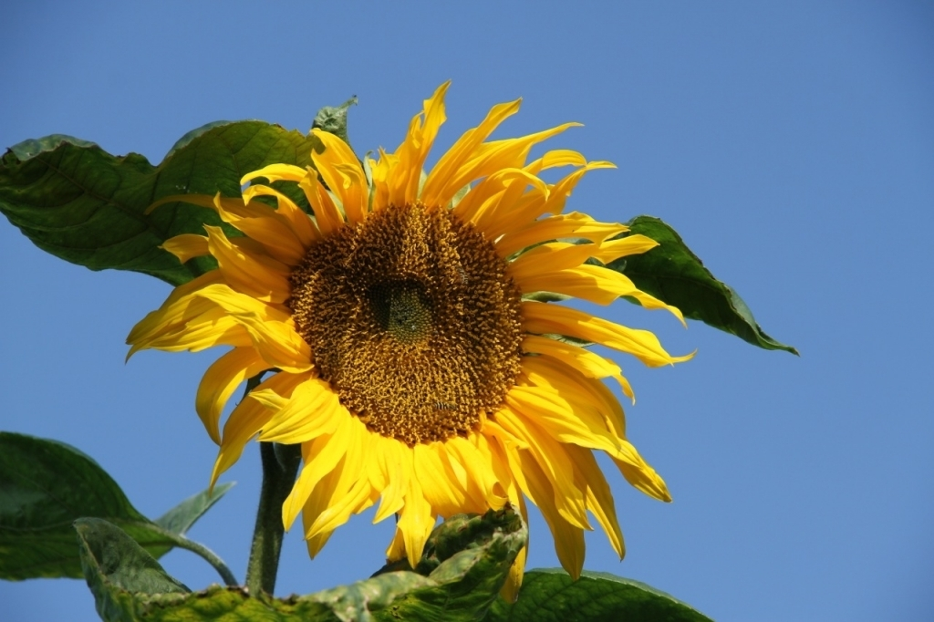Sunflower, against a cloudless blue sky