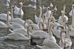 Mainly swans, at Stratford