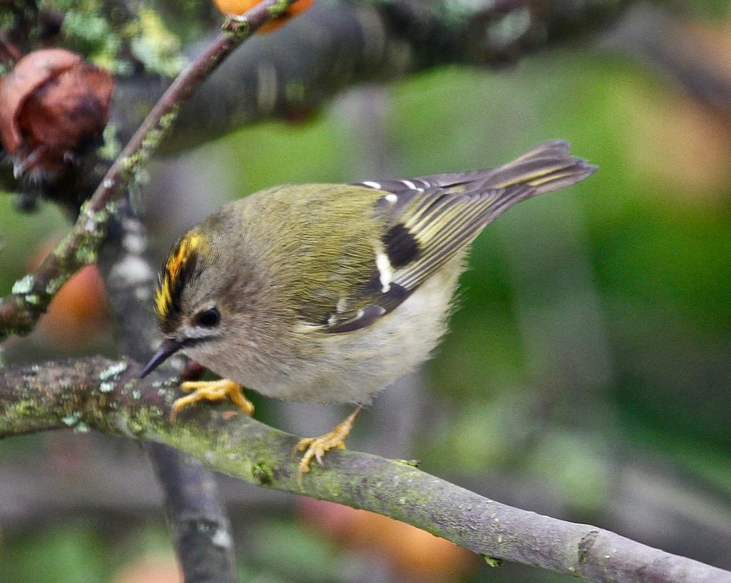 A Goldcrest in our garden