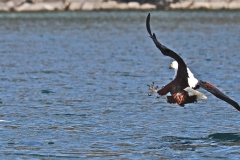 Fish Eagle on Lake Malawi