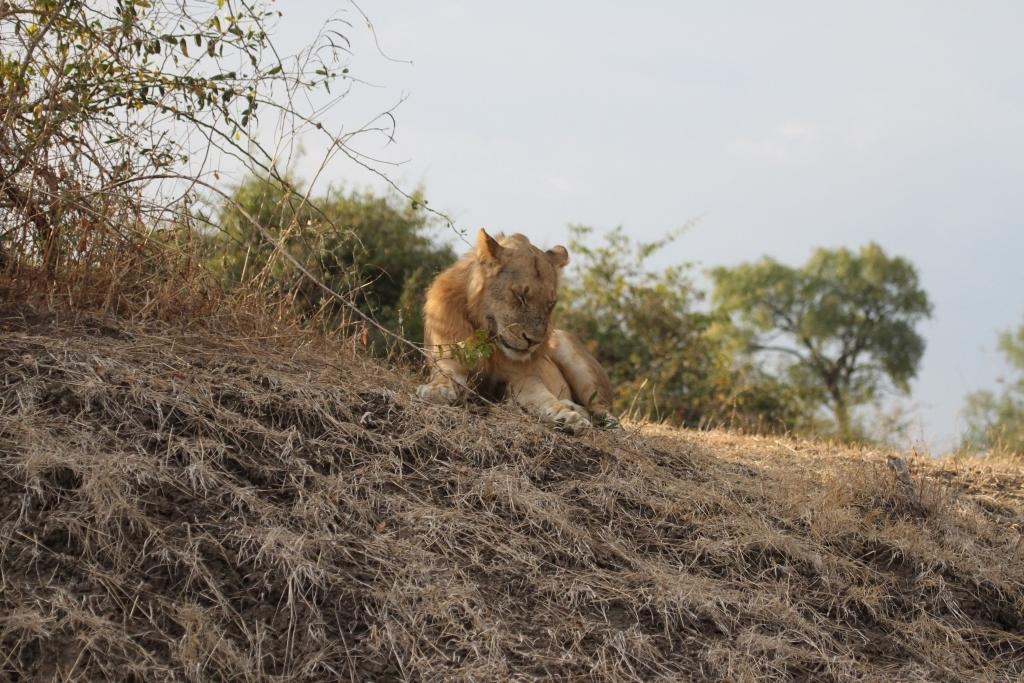 We saw plenty of lions