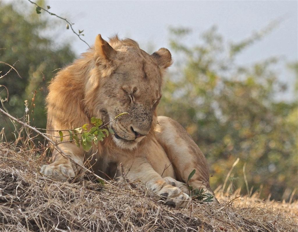 Lions, South Luangwa Valley, Zambia