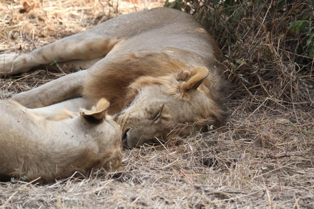 Sleeping off a kill