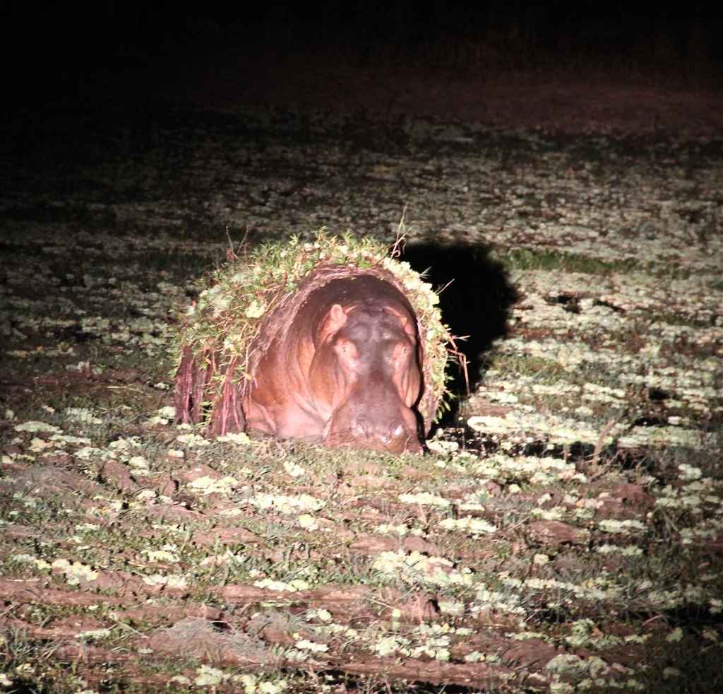 Hippo emerging from the weedy water