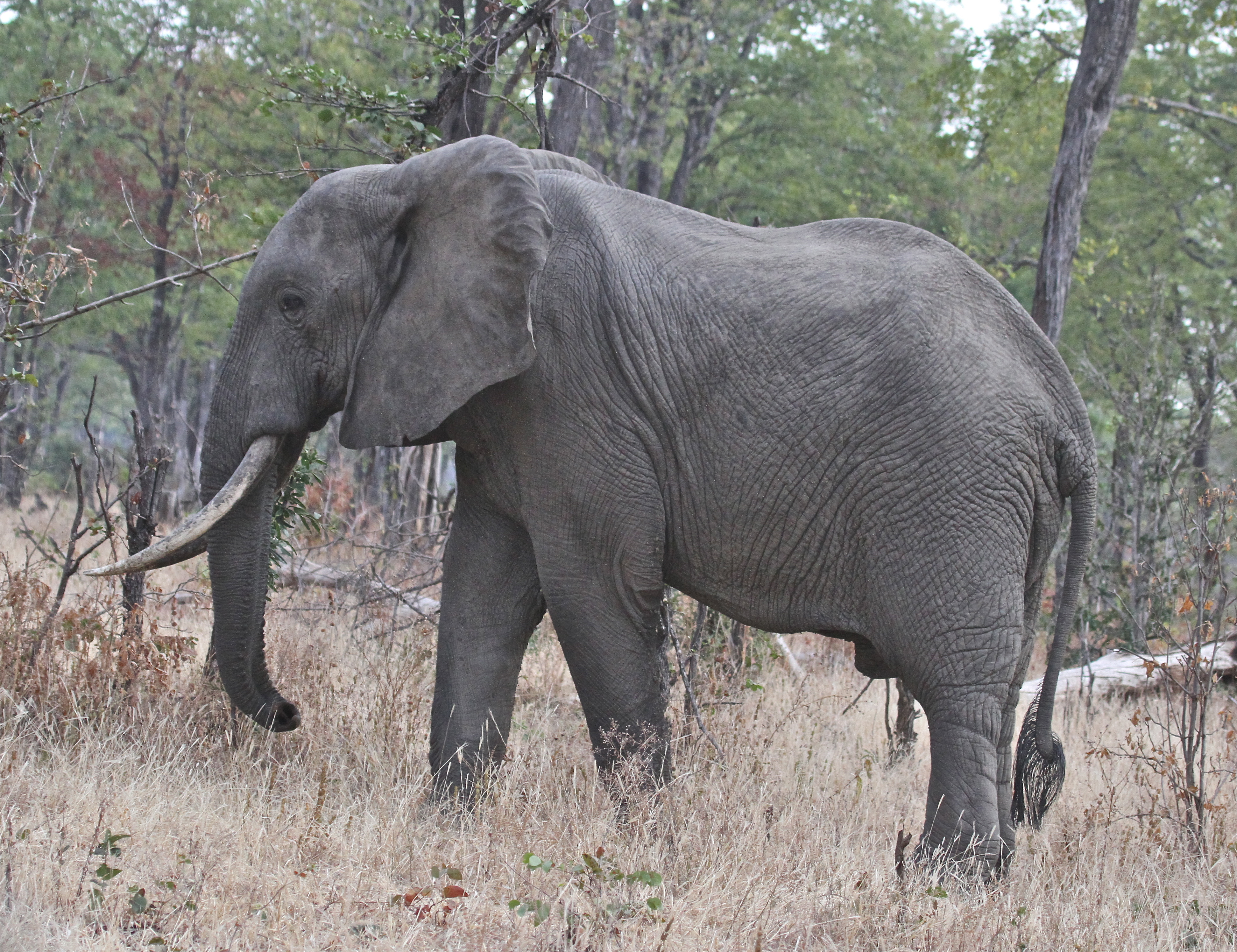 A heavy-footed elephant