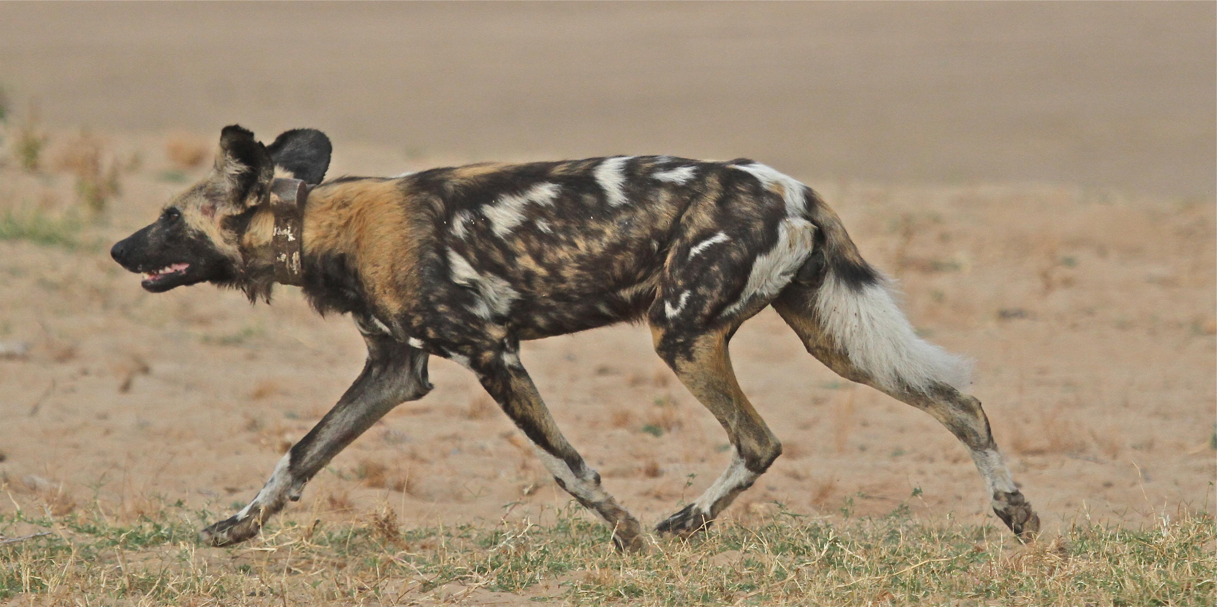 A Wild Dog, Kapani Camp, Luangwa Valley, Zambia
