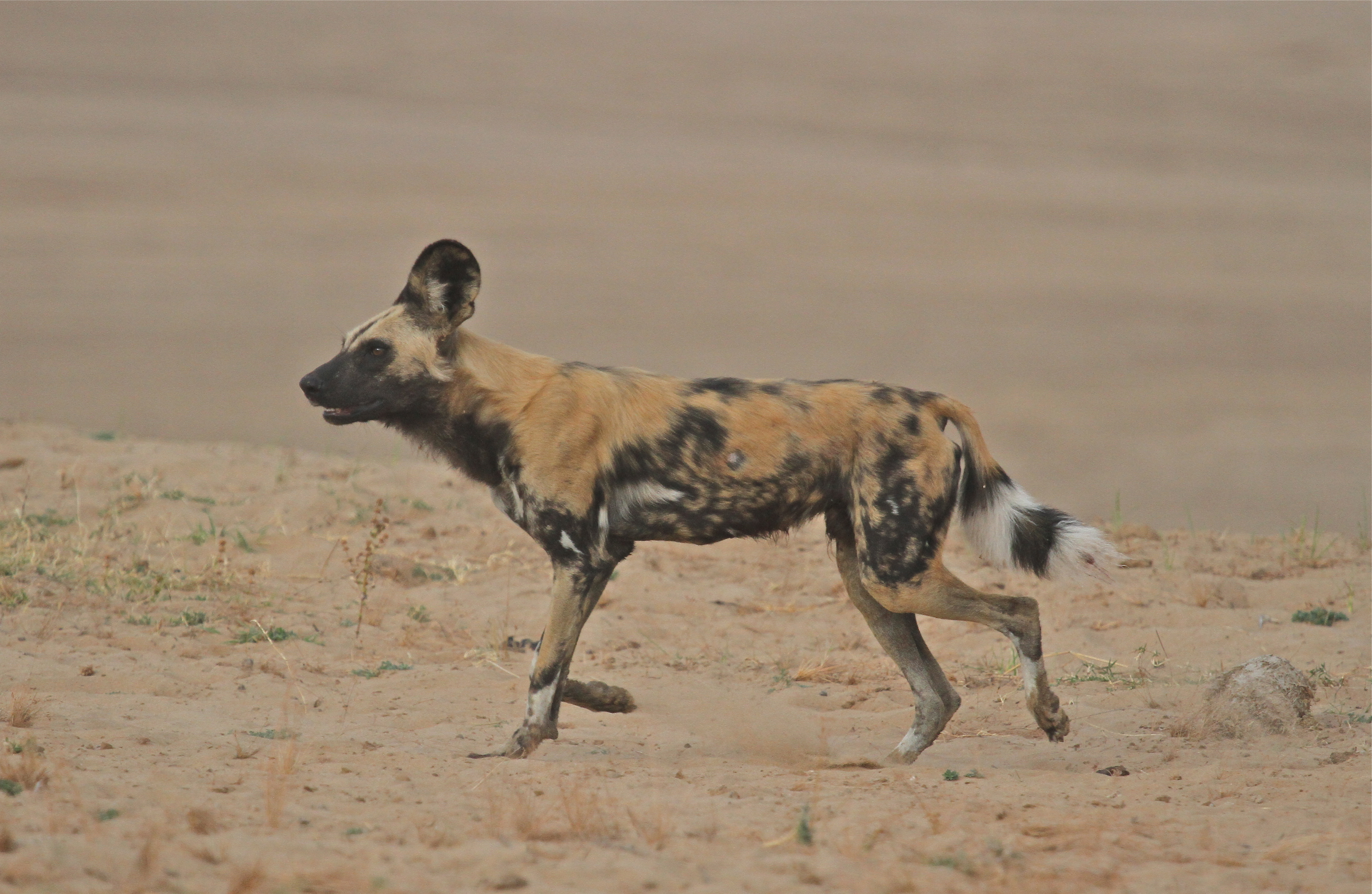Another Wild Dog