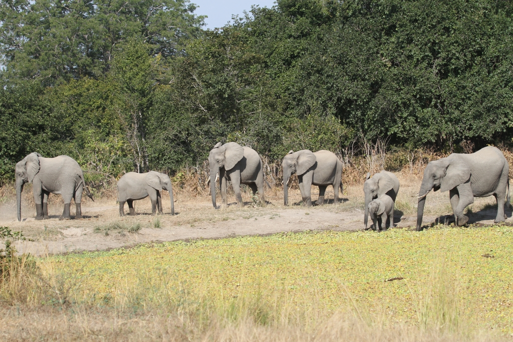 A Family of Elephants, Luangwa Valley