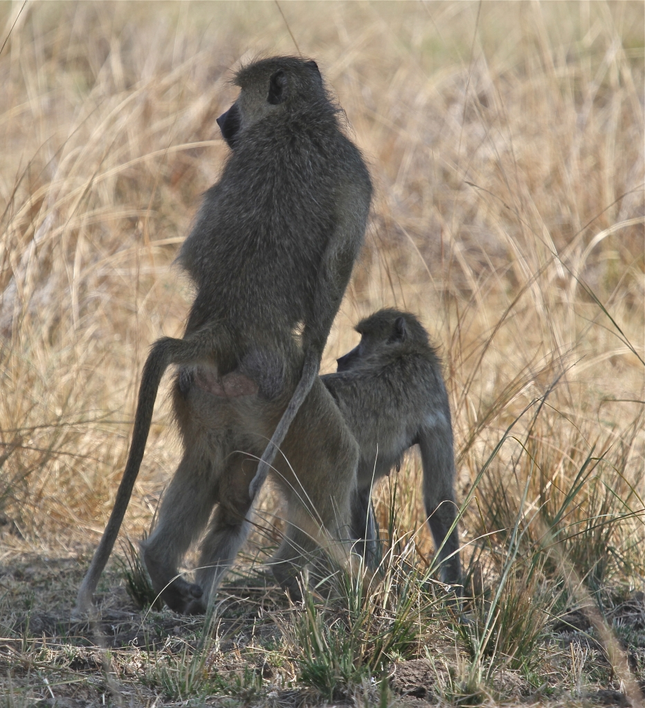 Baboons, Luangwa Valley, Zambia