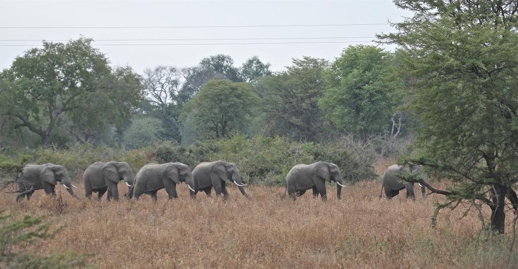 Another Herd of Elephants