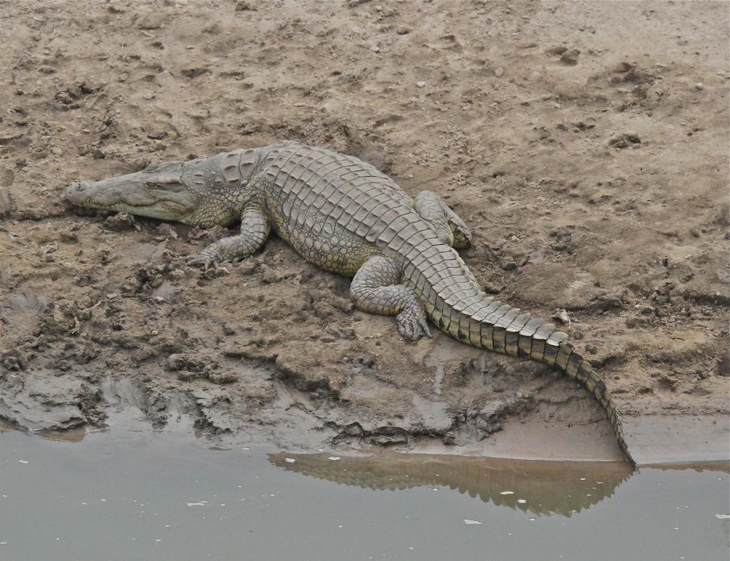Crocodile, Luangwa River