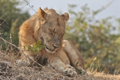 Lions, South Luangwa Valley, Zambia