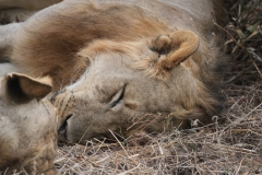 Let Sleeping Lions Lie