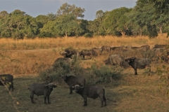 A Herd of African Buffalo