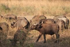 More Buffalo