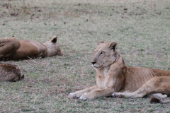 Lions, on the alert now