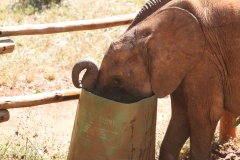 Feeding the Elephant Orphans