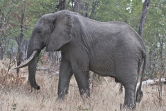 A heavy-footed elephant