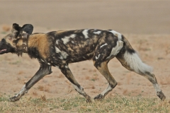 A Wild Dog, Kapani Camp, Luangwa Valley, Zambia