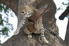 Leopard, Kapani Camp, Luangwa Valley, Zambia