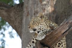 Leopard, Kapani, Luangwa Valley, Zambia