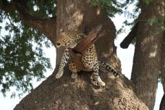 Leopard, Luangwa Valley, Zambia
