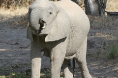 Elephant, Luangwa Valley, Zambia