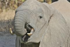 An Elephant, Luangwa Valley, Zambia