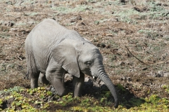 Elephant Plodding Through the Mud