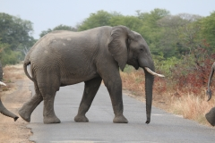 An Elephant Road Block