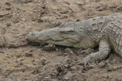 Crocodile, Luangwa River