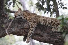 A Leopard Relaxing