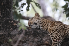 A Leopard Relaxing again