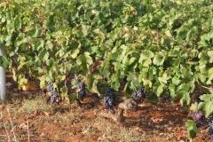The vineyard on the cricket field boundary