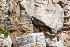 Eleanora\'s Falcon