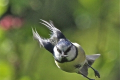Blue Tit with a Mission