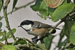 Coal Tit eating a nut