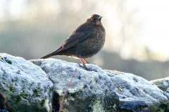 Female Blackbird in Crown Cottage garden