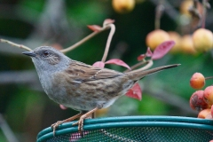Dunnock in Crown Cottage garden