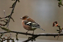 Chaffinch in Crown Cottage garden
