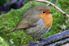 Robin, in Crown Cottage garden