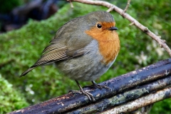 Crown Cottage Robin