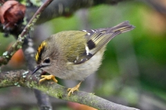 A Goldcrest - the smallest bird in the UK