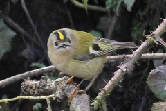Goldcrest in Parwich