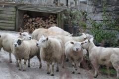 A Sheep Invasion at Orchard Farm