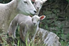 Parwich sheep July 2015